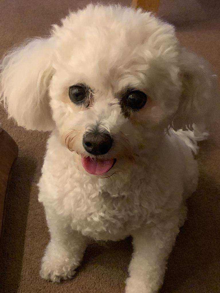 Improve Dogs Wellbeing Bichon Frise