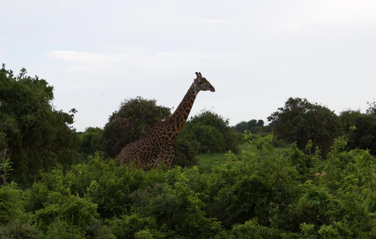 Giraffe Kenya WhatLauraLoves