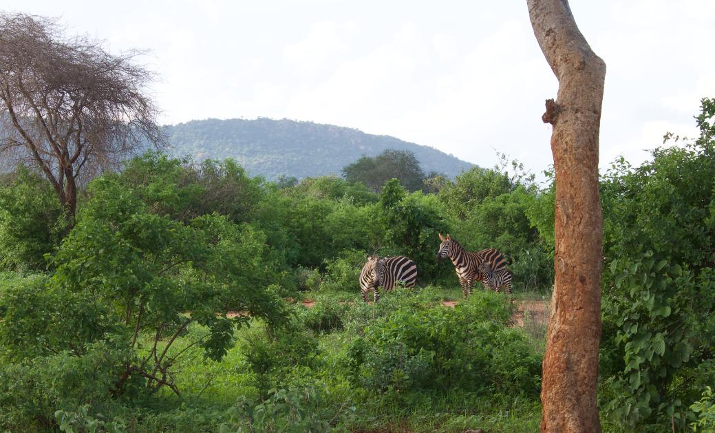 Zebras in Kenya WhatLauraLoves